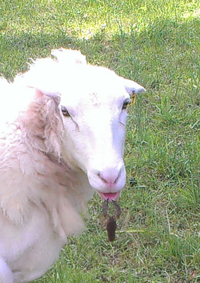Sheep and crawdad